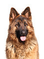 german shepard - PhotoDune Item for Sale