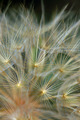 dandelion plant abstraction - PhotoDune Item for Sale