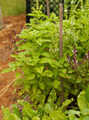 Growing Basil - PhotoDune Item for Sale