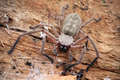 Huntsman Spider - PhotoDune Item for Sale