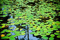 Lilly Pad Pond - PhotoDune Item for Sale