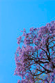 Jacaranda Tree - PhotoDune Item for Sale