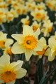 Daffodils - PhotoDune Item for Sale