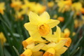 Yellow Daffodils - PhotoDune Item for Sale