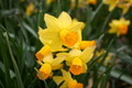 Springtime Daffodils - PhotoDune Item for Sale