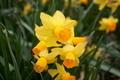 Springtime Daffodils - PhotoDune Item for Sale