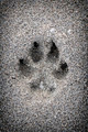 Paw print in sand - PhotoDune Item for Sale