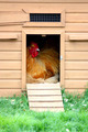 Chicken in coup - PhotoDune Item for Sale