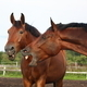 Two funny brown horses yawning - PhotoDune Item for Sale