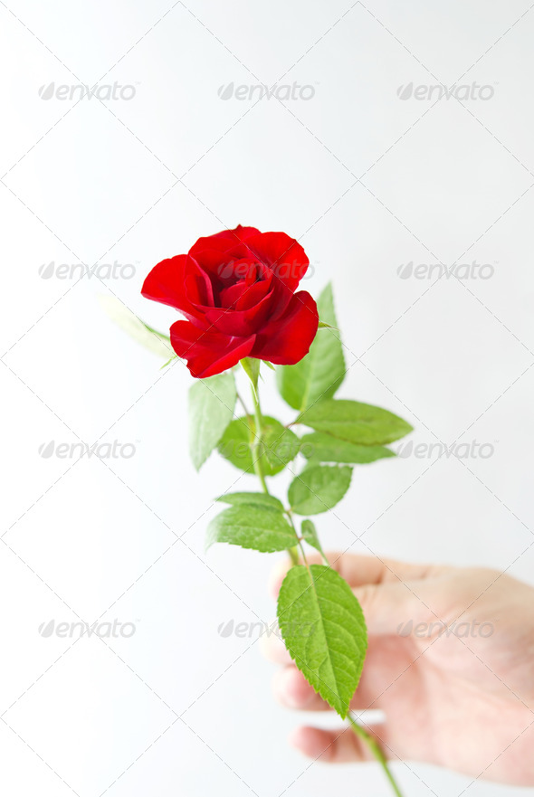 Red Rose in the Hand - Stock Photo - Images