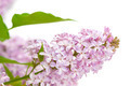 lilac with green leaves - PhotoDune Item for Sale