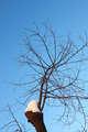 Young cherry tree branches in winter - PhotoDune Item for Sale