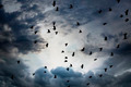 flock of jackdaws - PhotoDune Item for Sale