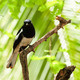 Oriental Magpie Robin - PhotoDune Item for Sale