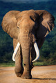 Elephant approaching - PhotoDune Item for Sale
