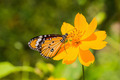 The Plain Tiger butterfly - PhotoDune Item for Sale