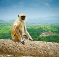 Kumbhalgarh Monkey - PhotoDune Item for Sale