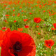 Poppy and Field - PhotoDune Item for Sale
