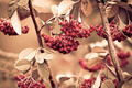 Bunch of hawthorn red berries - PhotoDune Item for Sale