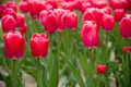 Red tulips - PhotoDune Item for Sale