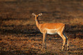 Impala antelope - PhotoDune Item for Sale