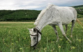 White Spotted Horse - PhotoDune Item for Sale