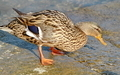 duck Colvert - PhotoDune Item for Sale
