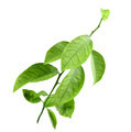 Sprout of citrus tree - PhotoDune Item for Sale