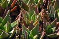Aloe Vera Cactus - PhotoDune Item for Sale