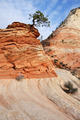 Pine Tree Growing Atop a Sandstone Formation in Zion - PhotoDune Item for Sale