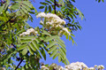 white rowan (Sorbus aucuparia) spring bloossoms - PhotoDune Item for Sale