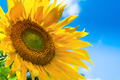 Sunflower background with blue sky - PhotoDune Item for Sale
