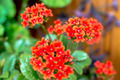 Red kalanchoe - PhotoDune Item for Sale