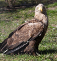 white tailed eagle wildlife scene - PhotoDune Item for Sale