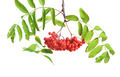 Bunch of red rowan - PhotoDune Item for Sale