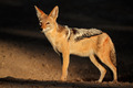 Black-backed Jackal - PhotoDune Item for Sale