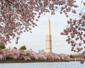 Cherry Blossoms and Washington Monument - PhotoDune Item for Sale