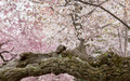 Detail of gnarled trunk of cherry blossom flowers - PhotoDune Item for Sale