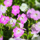 beautiful pink flowers in the garden - PhotoDune Item for Sale