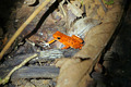 Strawberry poison dart frog - PhotoDune Item for Sale