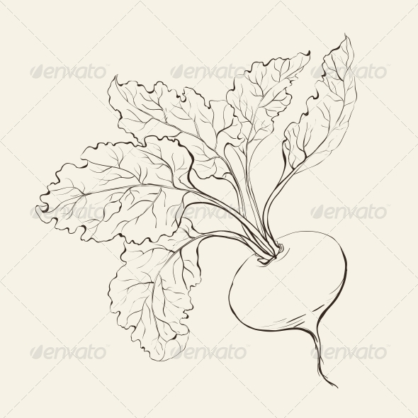 GraphicRiver Beet Root 4529258
