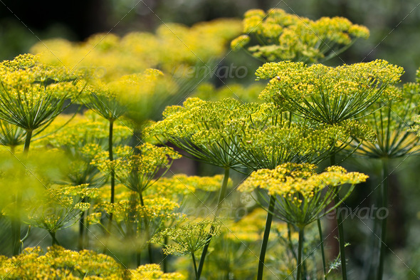 dill - Stock Photo - Images
