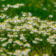Daisys - PhotoDune Item for Sale