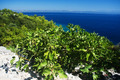 Fig tree with blue sea in Korcula, Croatia - PhotoDune Item for Sale