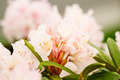 New Spring Rhododendron in pink - PhotoDune Item for Sale