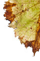 grapevine leaf isolated - PhotoDune Item for Sale