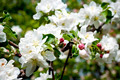 Apple trees in bloom - PhotoDune Item for Sale
