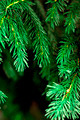 fir-tree - PhotoDune Item for Sale