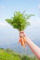 Hand holding fresh carrots - PhotoDune Item for Sale