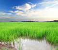 Green rice field and Sky for background - PhotoDune Item for Sale